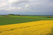 foto of rape-seed  - yellow flowers of a rape field in France - JPG