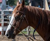 stock photo of harness  - Rodeo horse with its harness at the rodeo - JPG