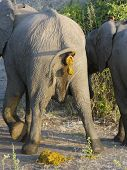 picture of excrement  - the backside of an elephant while crapping - JPG