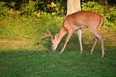 picture of antlers  - Whitetail buck with antlers in velvet grazing next to the forest - JPG