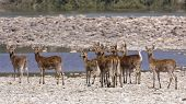 stock photo of deer family  - Cervus duvaucelii - JPG