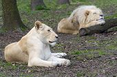 stock photo of boring  - White South African lion and lioness  - JPG