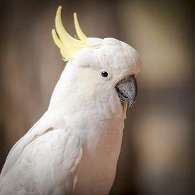 image of cheeky  - Cheeky cockatoo parrot bird in the Australian bush - JPG
