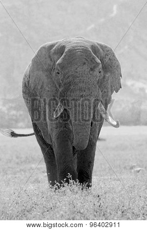 Old African Elephant In Black And White