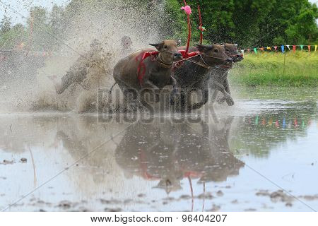Water Buffalo Tradition