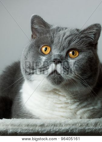 British Shorthair Cat Sitting