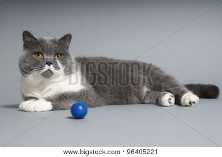 British Shorthair Cat With Toy