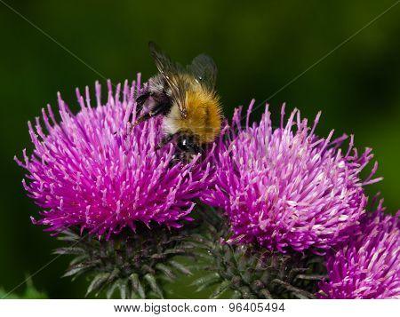 Bee On Scotch Thistle Flower Macro, Selective Focus