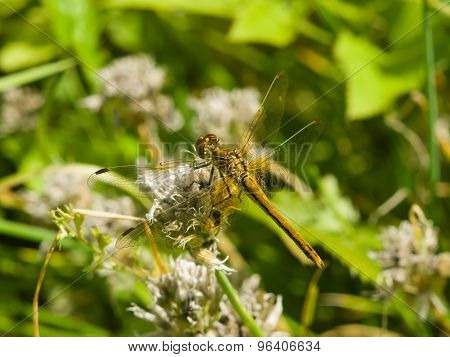 Yellow Dragonfly On A Weed Macro, Selective Focus