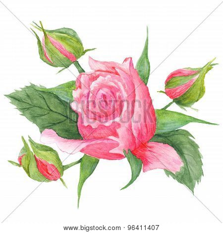 Rose Buds Botanical Illustration