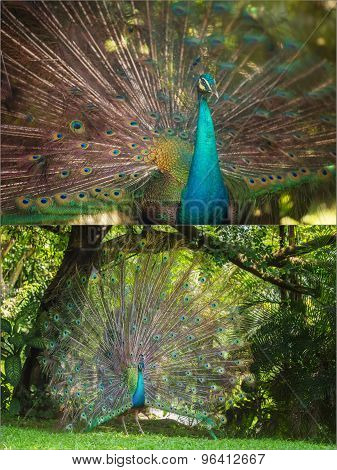 Collage of beautiful peacock with feathers out