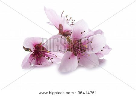 Peach Flowers Isolated On A White Background