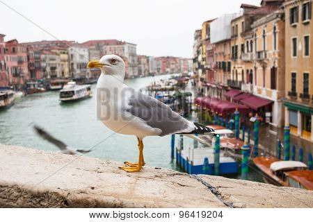 Albatross At Rialto Bridge, Venice Houses And Canal On The Background