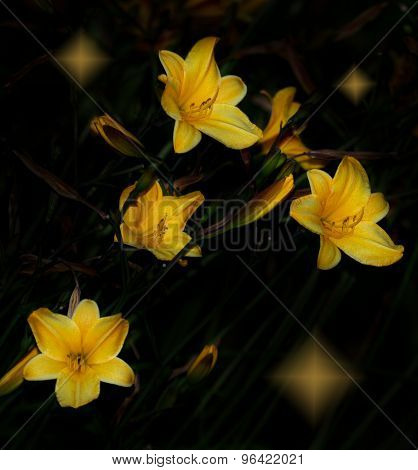 Day lily with stars