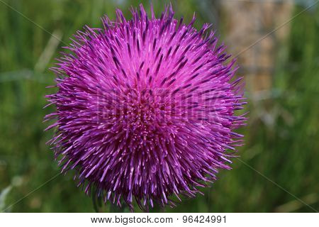 Musk Thistle (Carduus nutans)