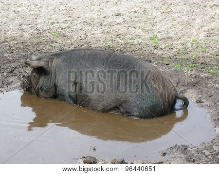 A potbellied pig in the water
