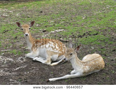 A roedeer and her calf