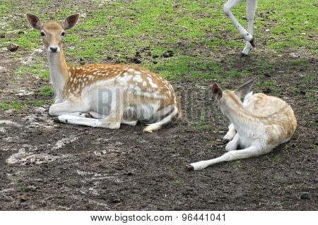 Roe deer with a calf