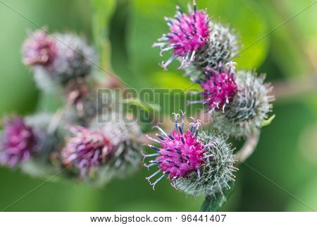 Flowering Great Burdock