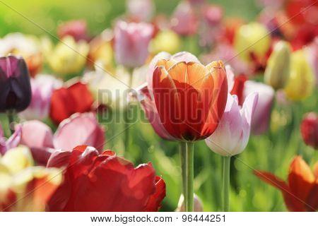 Multicolor Tulips In Spring