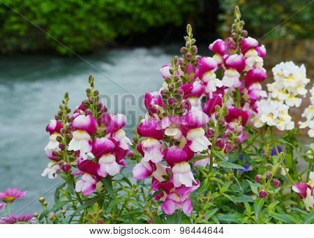 Magenta and white snapdragon plants