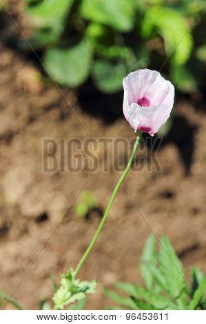 Opium Poppy Flower.