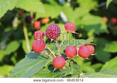 Ripe Red Raspberry In Garden.