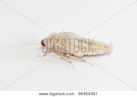 Deaths Head Cockroach