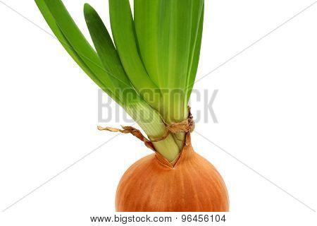 Germinating Onion