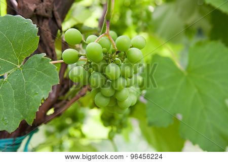 Grapes With Green Leaves On The Vine