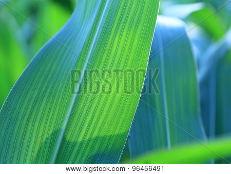 Corn leaves - background