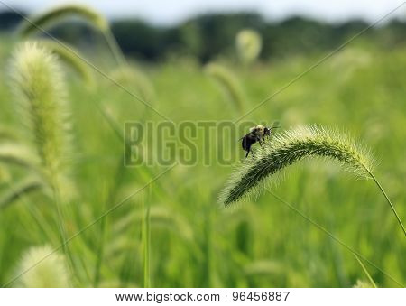 Bumble bee on grass flower