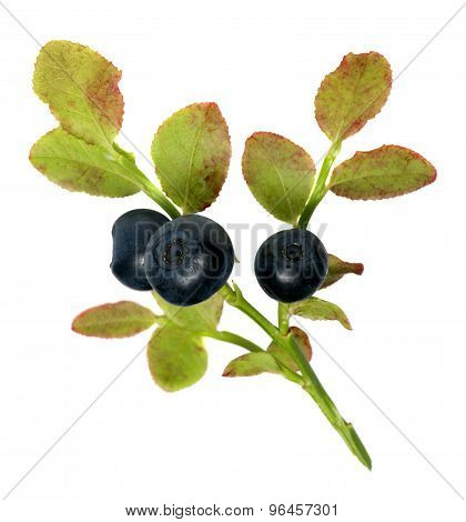 sprig of fresh wild forest blueberries isolated on white background.