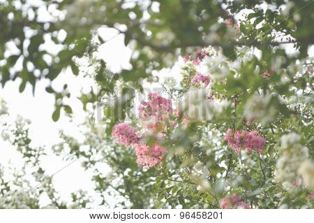 Faded Background Image Of Crepe Myrtle Trees