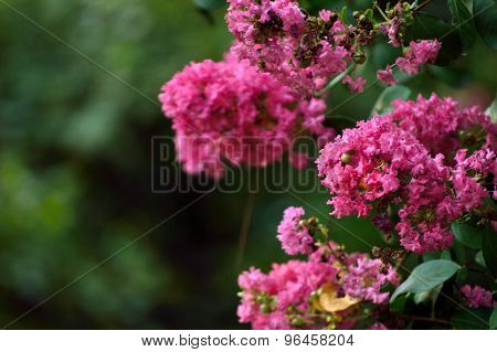 Pink Crepe Myrtle Flowers Closeup