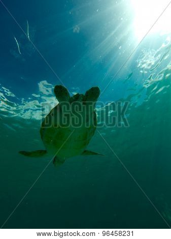 Turtle swimming in the sea