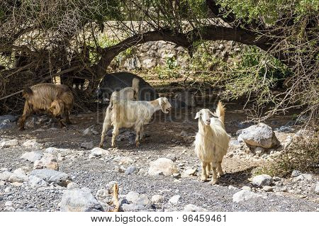 Sheep Oman