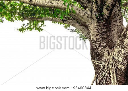 Banyan Tree Isolated On White Background