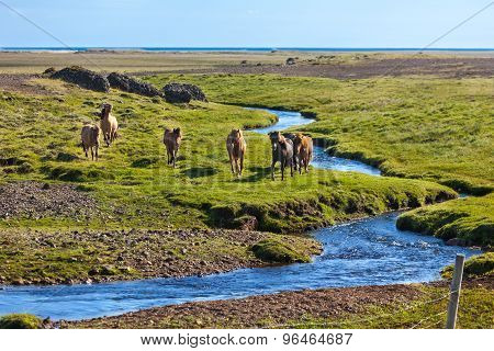 Horses In A Green Field Of Grass At Iceland Rural Landscape