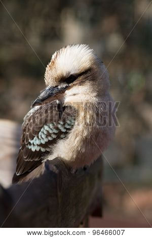 Kookabura Sitting On A Branch