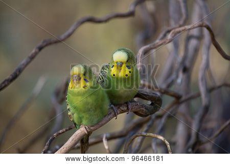 Two Budgies Playing - Stock Image