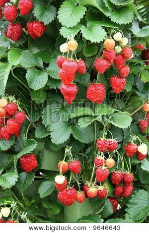 Garden strawberry plant