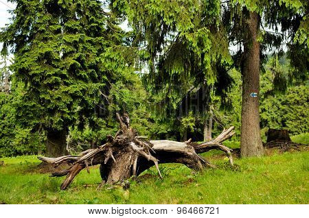 Forest With Fir Trees