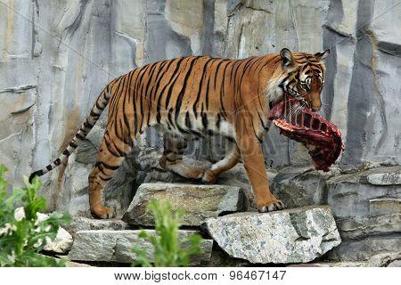 Malayan tiger (Panthera tigris jacksoni). Wildlife animal.