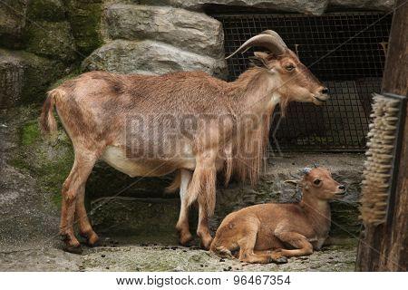 Female Barbary sheep (Ammotragus lervia) with a lamb. Wild life animal.