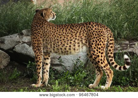 Cheetah (Acinonyx jubatus). Wildlife animal.