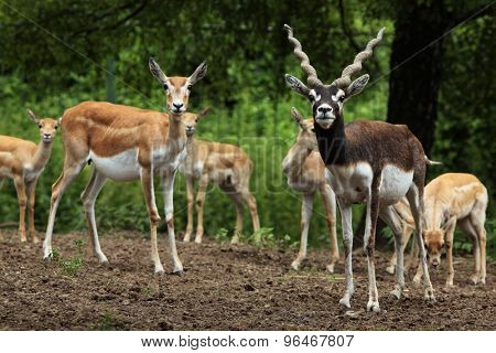 Indian blackbuck (Antilope cervicapra). Wildlife animal.