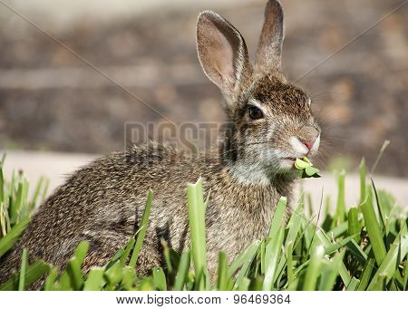 Closeup of cute cottontail bunny rabbit in the garden