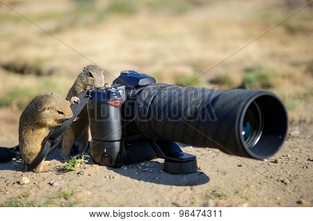 European Ground Squirrel As A Photographer With Big Professional Camera