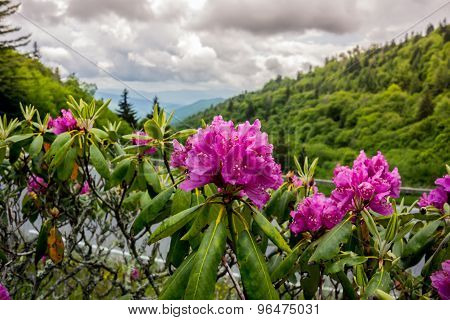 Rhododendron In Early Summer